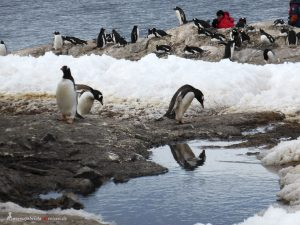 Antarctica, Gentoo penguin rookery, Mikkelsen Harbour