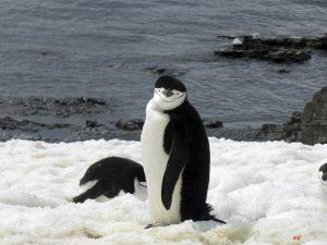 Zügelpinguin, Antarktis, Halfmoon Bay