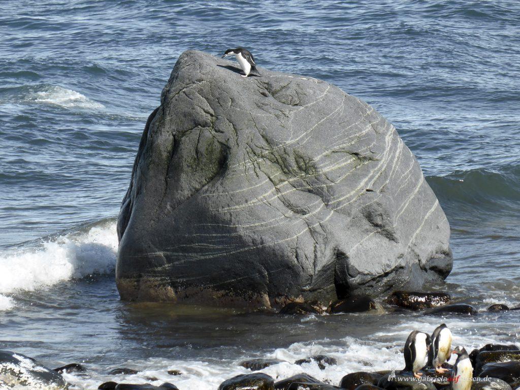 Antarktis, Zügelpinguin, Yankee Island