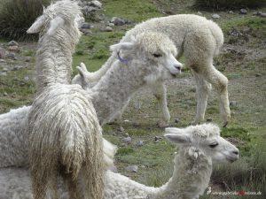 Peru, Alpakas
