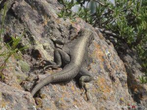 Reptil, Eidechse in Peru, Colca Canyon