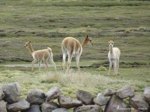 Vicunas, Peru, Reserva Nacional Salinas - Aguada Blancas