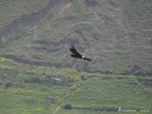 flying condor at Colca Canyon, Peru
