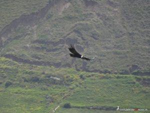flying condor at Colca Canyon, Peru