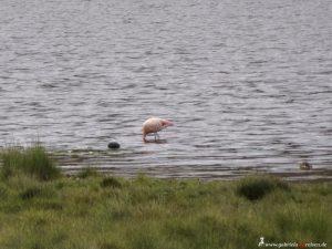 Peru, flamingo