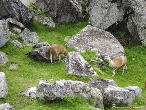 Peru, Inka Ruinen mit Lamas