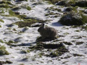 Peru, fauna, rabbit