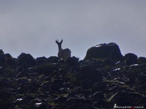 Peru, fauna, mammal