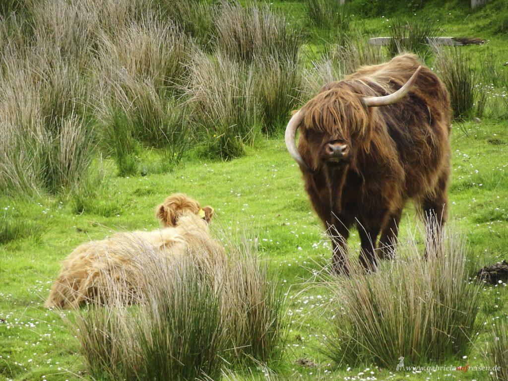 schottische Rinder