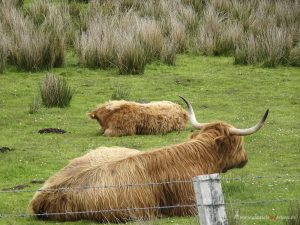 Scotish cows