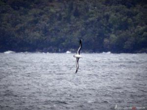 Chile, Albatros