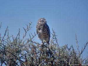 Vogel, Eule, Argentinien