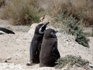 Halbinsel Valdés, Pinguinkolonie