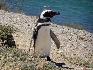 Halbinsel Valdés, Pinguin