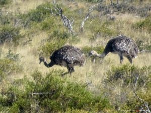 ostrich in Argentina