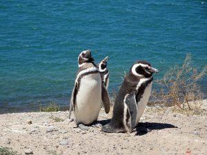 Puerto Madryn, penguins