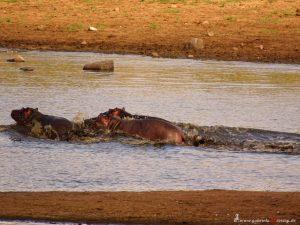 Hippopotemus