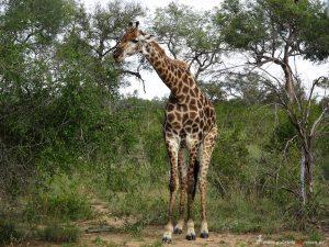 Giraffe in Suedafrika