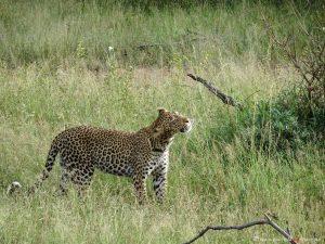 Grosskatze in Suedafrika