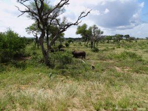 Nashoerner in Suedafrika