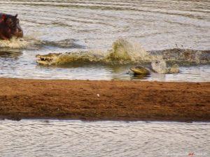 Nilpferd und Krokodile in Suedafrika