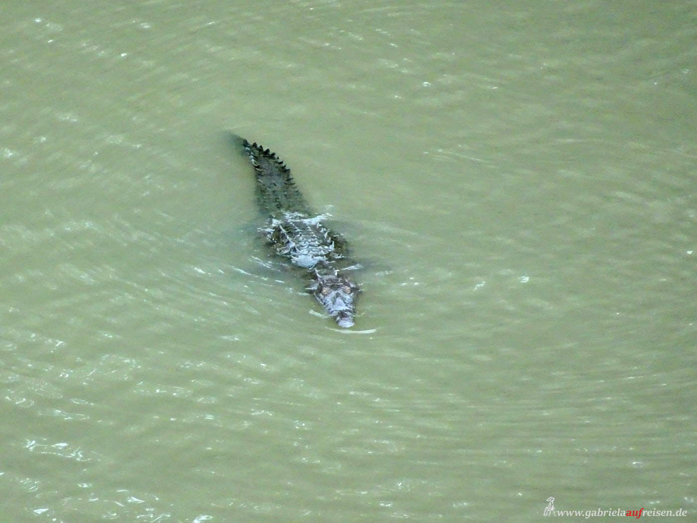 Panamaen Crocodile