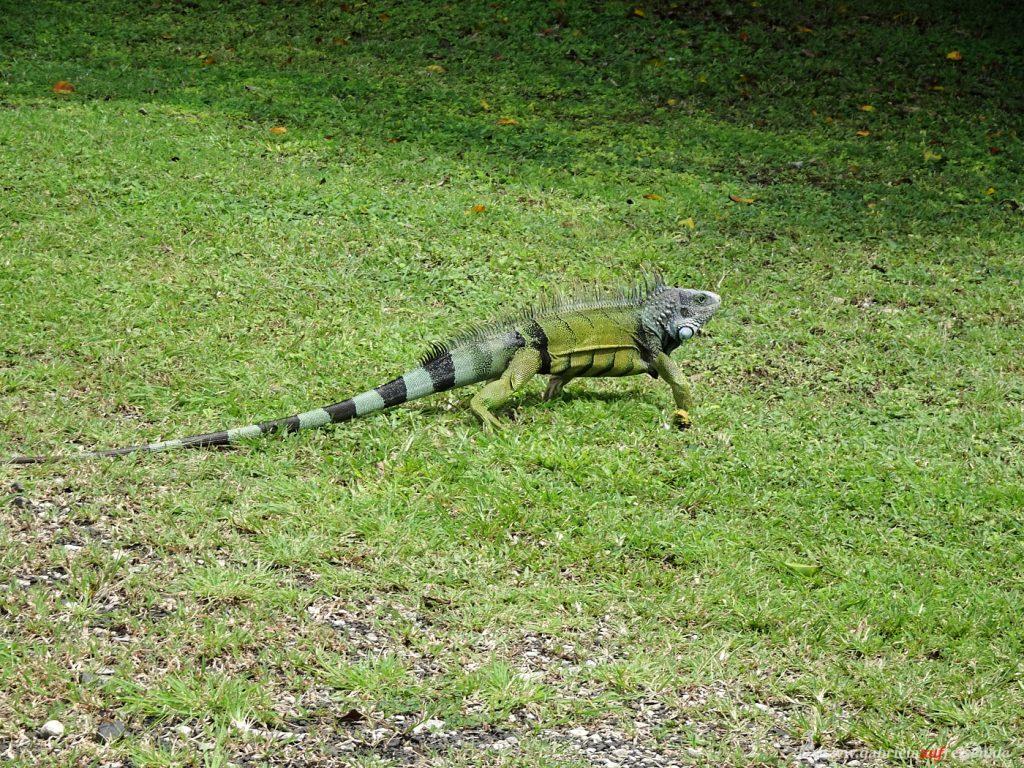 Leguan in Panama