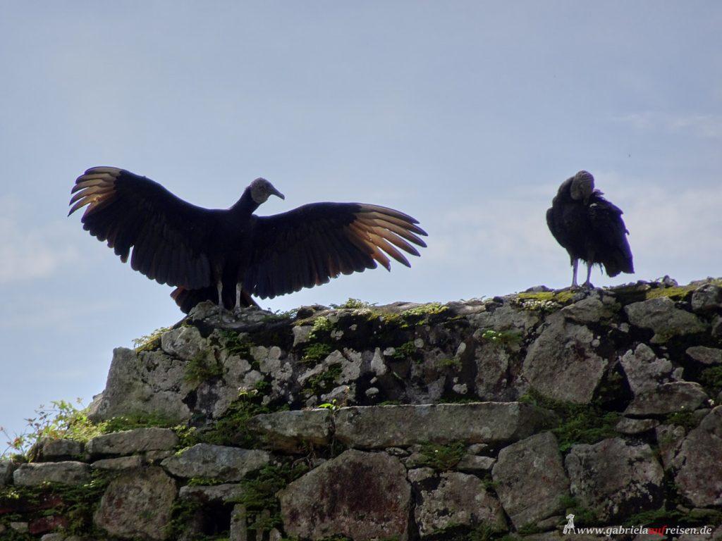 short throat vultures