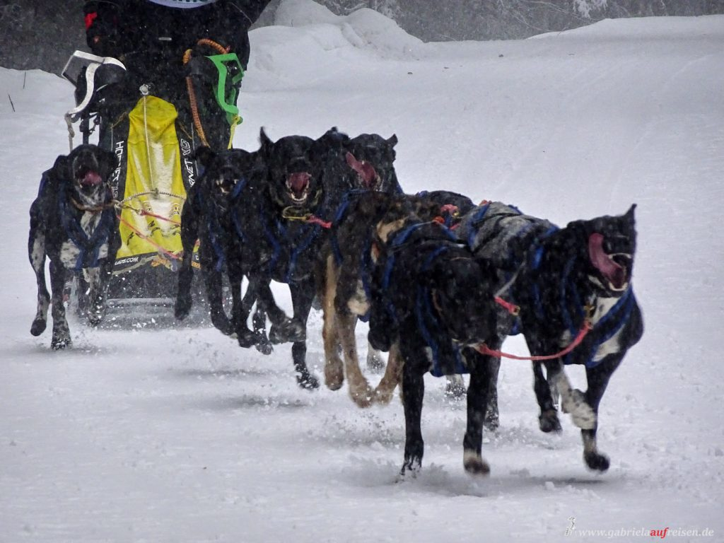 sled dog race in Todtmoos