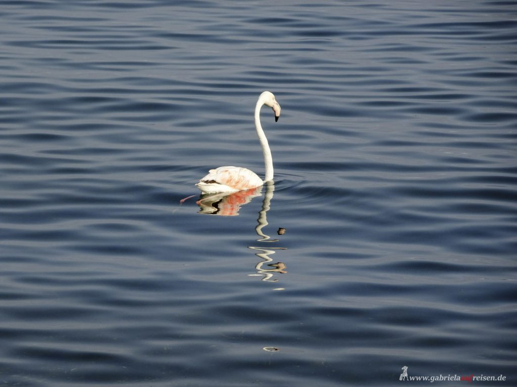 Flamingo in Walvis Bay