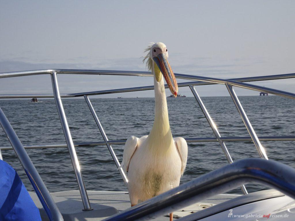 Pelikan in der Walvis Bay