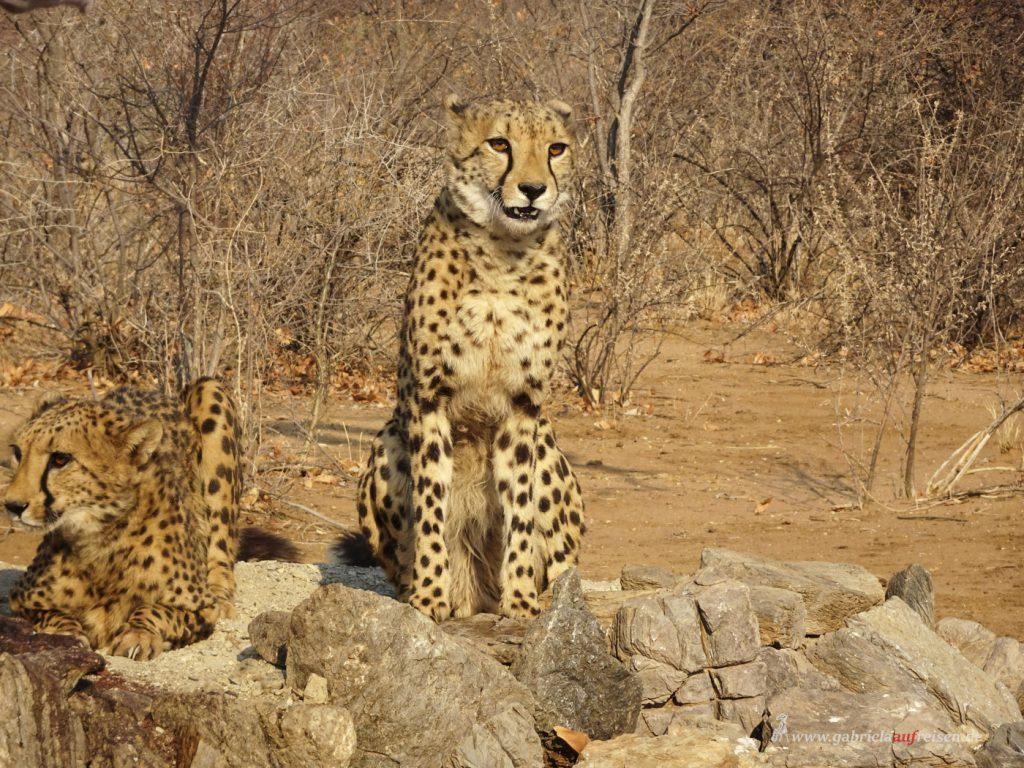 Dieses Bild hat ein leeres Alt-Attribut. Der Dateiname ist cheetahs_-1024x768.jpg