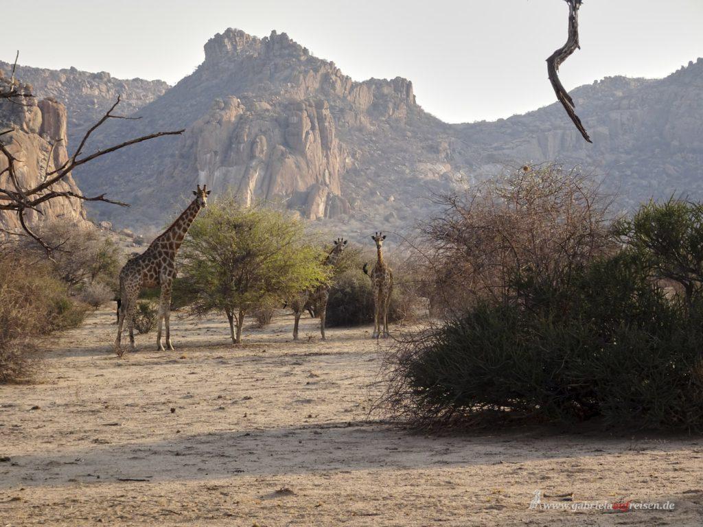 Dieses Bild hat ein leeres Alt-Attribut. Der Dateiname ist giraffes_at_Omandumba_Bush_Camp-1024x768.jpg