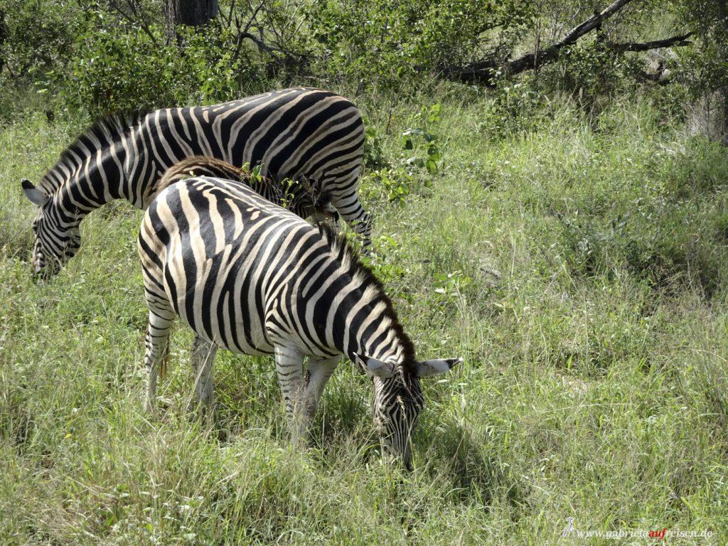 Zebras-fressen-Gras