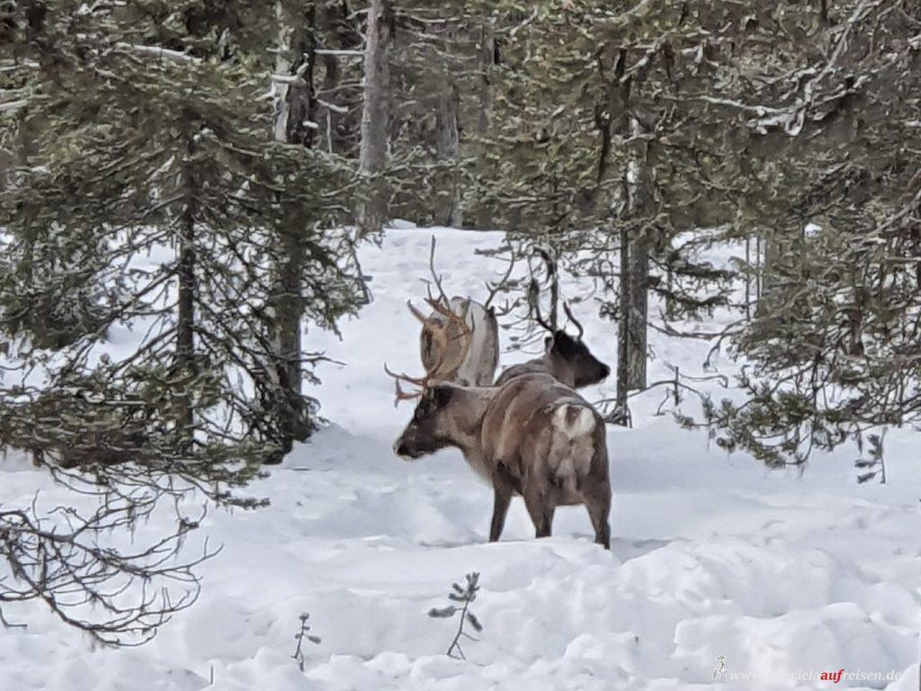 Wir lernen bei Eva Gunnare und Anna Kuhmunen viel über Sami Tradition in Schwedisch Lappland