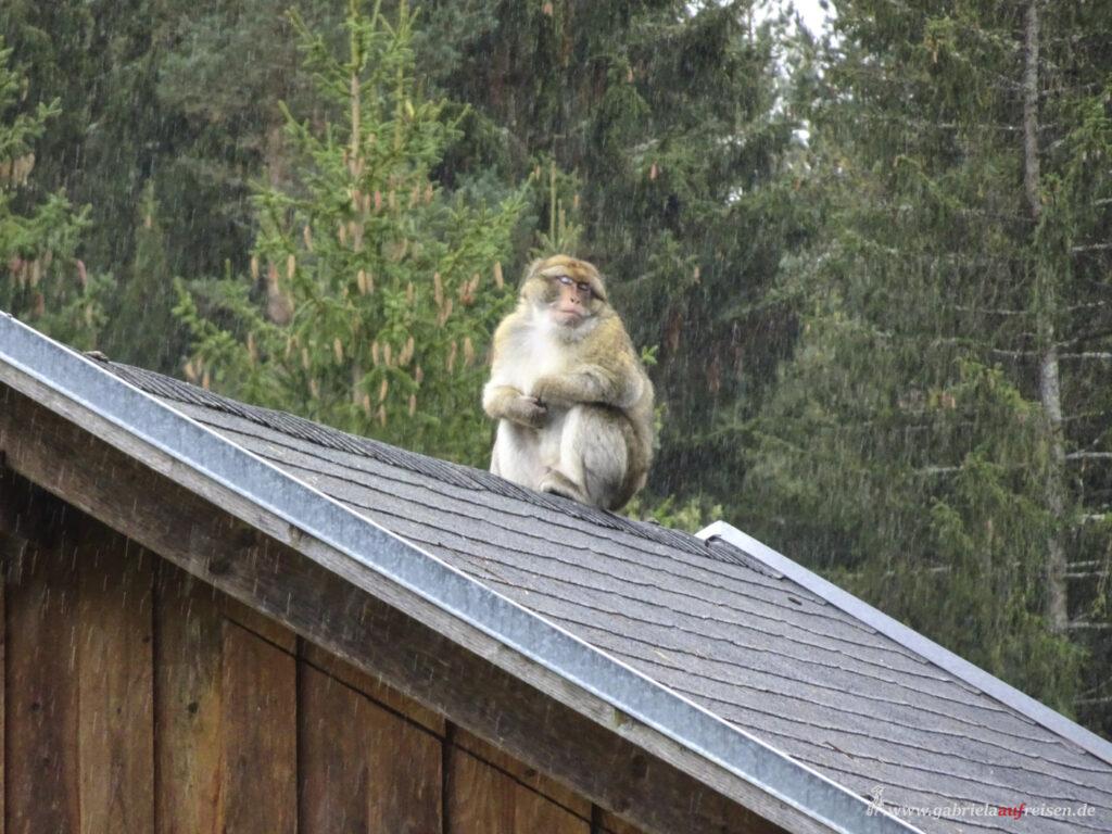 Affe-im-Schwarzwald