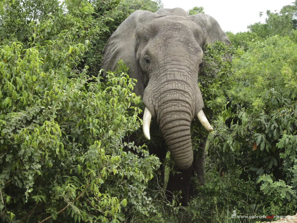 Elefant-im-Unterholz