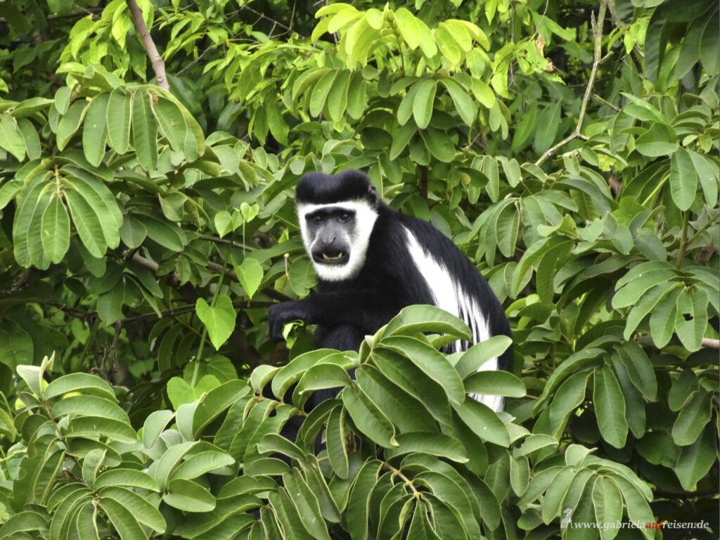 Affenart-in-Uganda