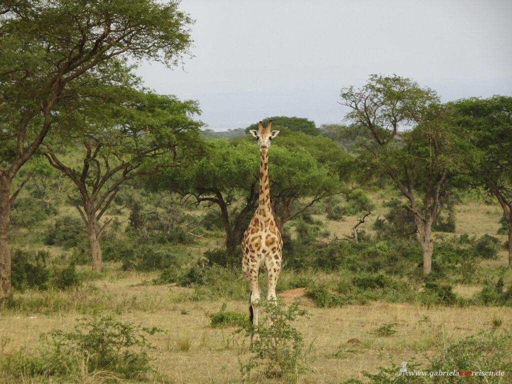 Giraffe-im-Murchison-Falls-National-Park