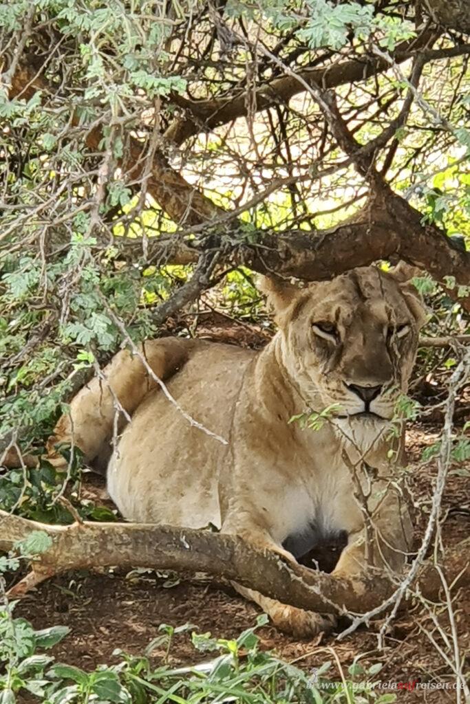 Grosskatze-in-Uganda