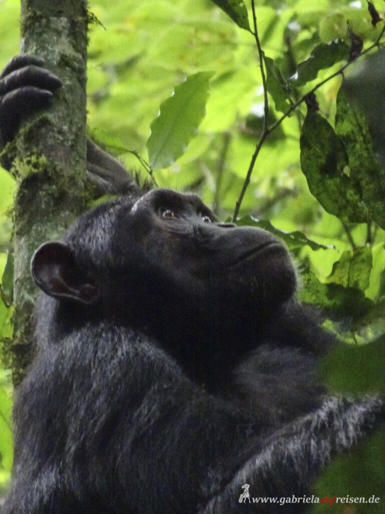 Portrait-eines-Schimpansen