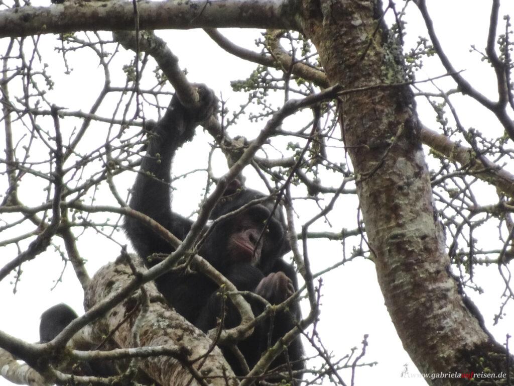 Schimpanse-im-Kibale-National-Park