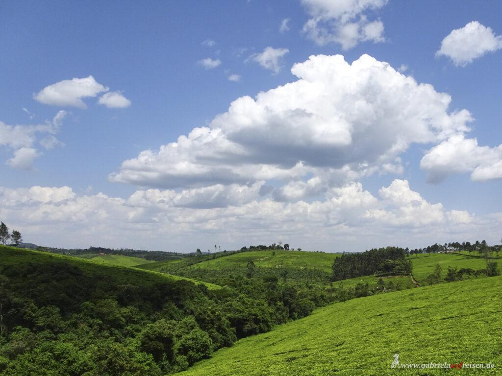 Teeanbau-in-Uganda