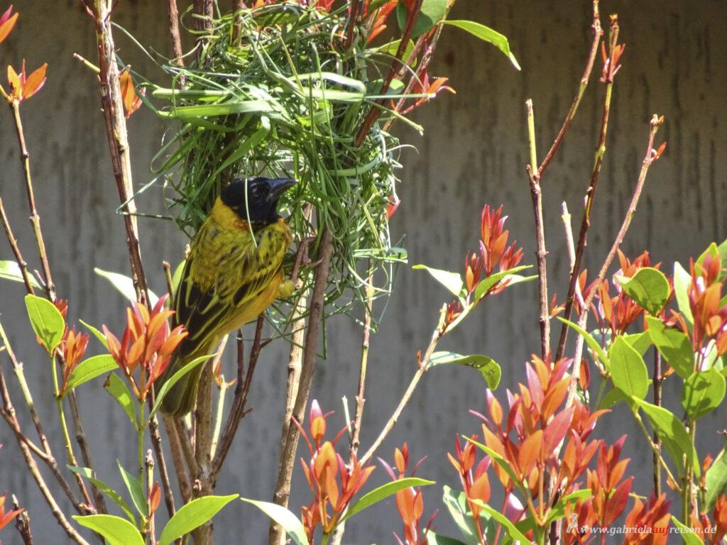 ein-Webervogel-beim-Nestbau