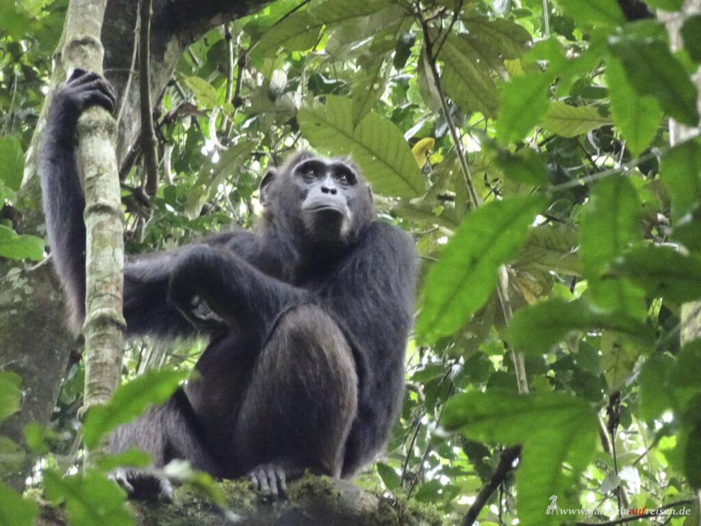 Schimpanse-hockt-auf-einem-Baum-im-Kibale-National-Park