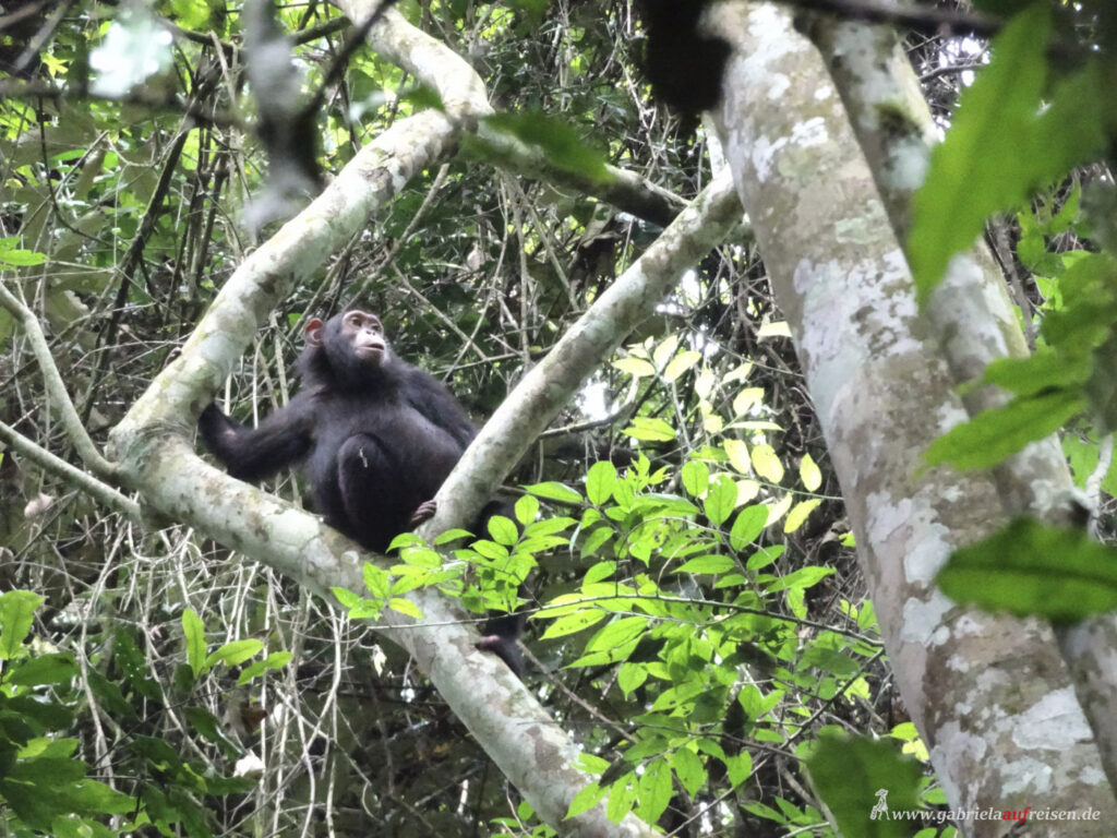 Schimpanse-im-Kibale-Nationa-Park