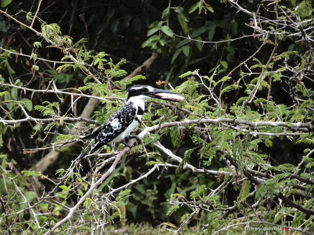 schwarz-weisser-Vogel