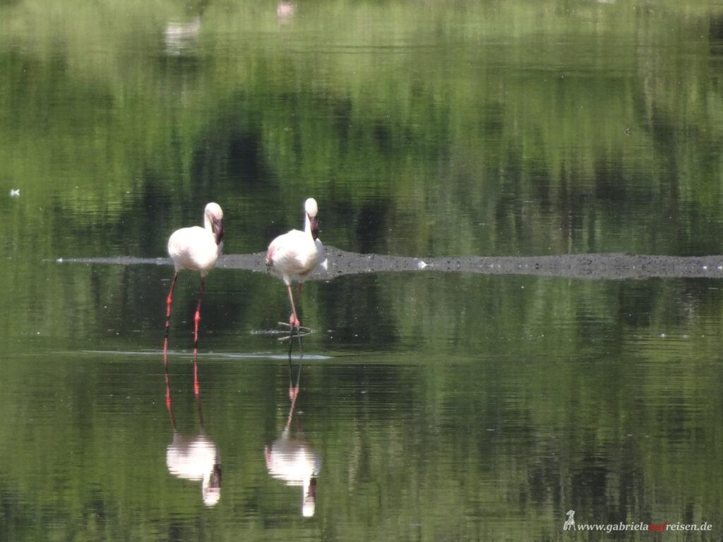 Flamingos-im-See