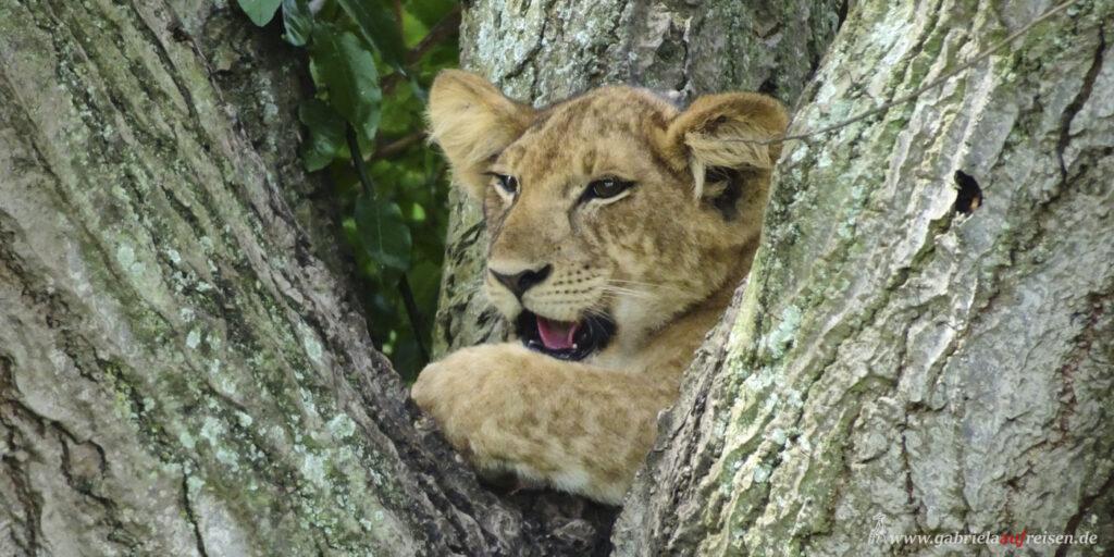 kleiner-Loewe-auf-einem-Baum
