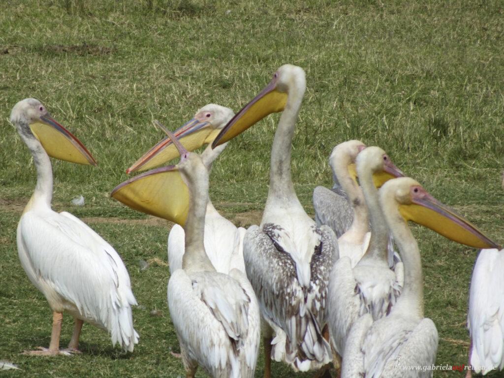 Pelikane-an-Land